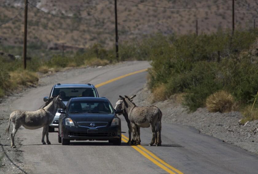 Wild burros in Oatman, Ariz.