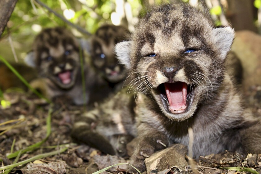 A den of mountain lion kittens in the Santa Monica Mountains is shown in May.