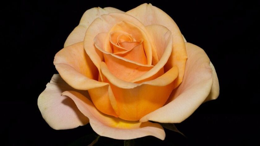 Marilyn Monroe, a Tom Carruth hybrid tea is a gorgeous creamy apricot beauty CREDIT: Dona Martin