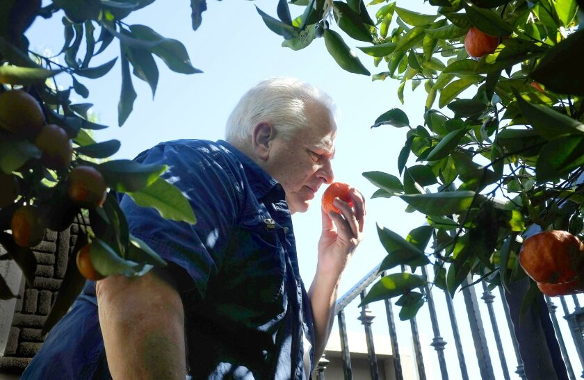 Don Caton stops to smell a tangerine in his garden overlooking Mission Valley. He has produced a bumper crop of citrus — kumquats, tangerines and oranges — in his small backyard by diverting graywater from his home to the trees and sticking to a regular watering schedule.