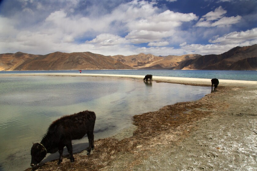 In this Sept. 14, 2018, file photo, cattle drink water at Pangong Lake, the site of several confrontations between India and China in Ladakh region, in Ladakh, India. China said Wednesday, June 10, 2020, that it is taking measures with India to reduce tensions along their disputed frontier high in the Himalayas following a recent flareup that prompted rock-throwing and fistfights. (AP Photo/Manish Swarup, File)