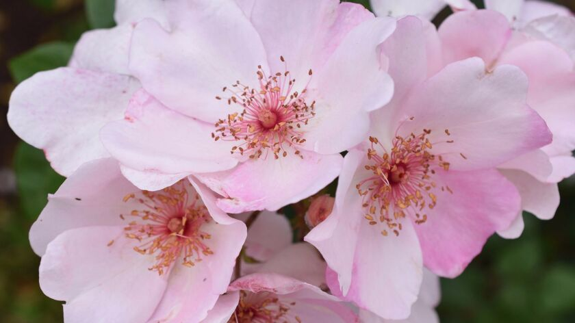 The Charlatan is a light pink shrub rose with stunning filaments and stamens