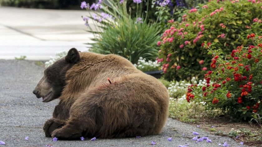 A homeless man escaped a run-in with a brown bear while sleeping in the foothills of the San Gabriel Mountains late Tuesday. In a 2018 photo, a brown bear is tranquilized in a La Verne neighborhood.
