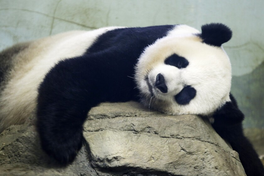 The Smithsonian National Zoo's giant panda Mei Ziang