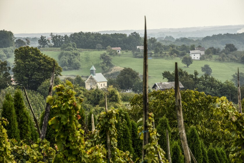 Old-style wine stakes in the vineyard of the rural farmstay OPG Ciban, a winery near the city of Jastrebarsko.