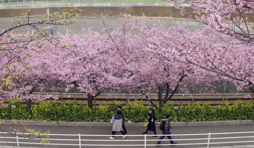 Cherry blossoms and yellow rapeseed bloom in Miura, Japan, on Feb. 22.