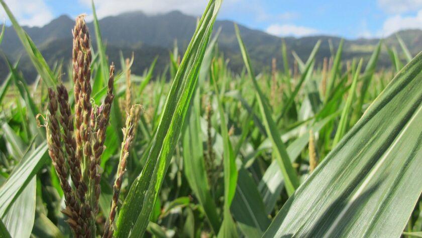 In this April 16, 2014 photo, a tassel of corn grows in a field on Pioneer Hi-Bred International lan