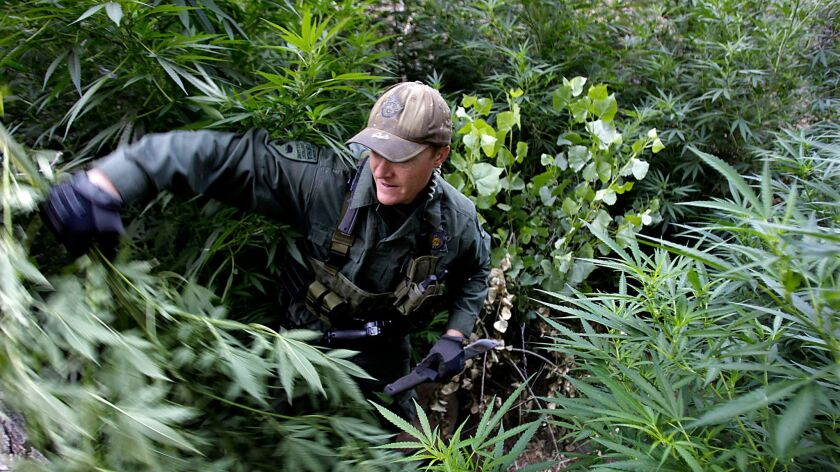 A warden with the California Department of Fish and Wildlife hacks down marijuana plants found growing in a deep ravine in the Sierra Nevada foothills near Kernville.