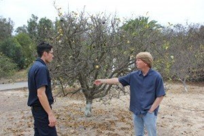 Conor Lenehan, left, of the RSF Fire Department, and Chuck Badger, of RE Badger and Son, examine a citrus tree damaged by the diaprepes root weevil.  The tree is in a grove in Rancho Santa Fe, at Linea del Cielo and El Camino Real.