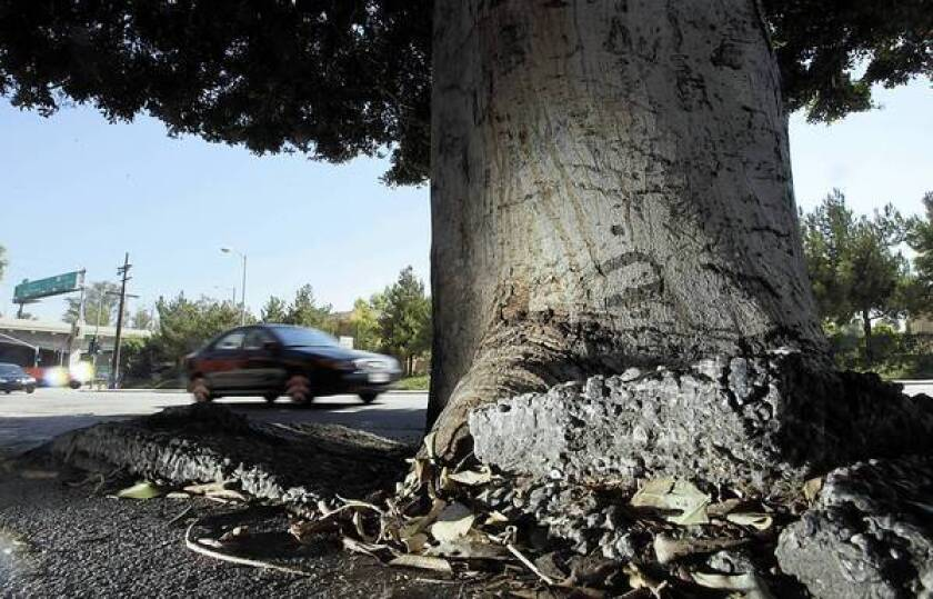 A tree has torn up a sidewalk along Mission Road near Cesar Chavez Boulevard in Boyle Heights.