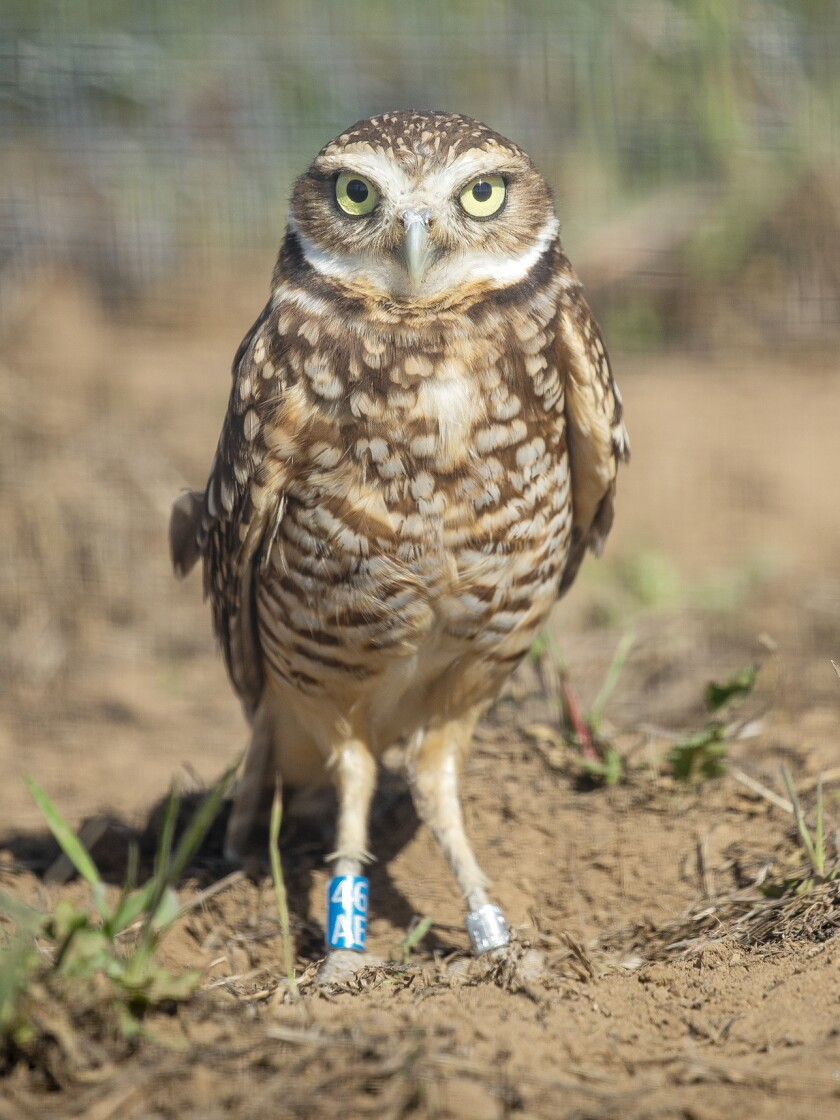 Western burrowing owls bred in captivity are expected to be released at a Ramona grasslands site on March 17.