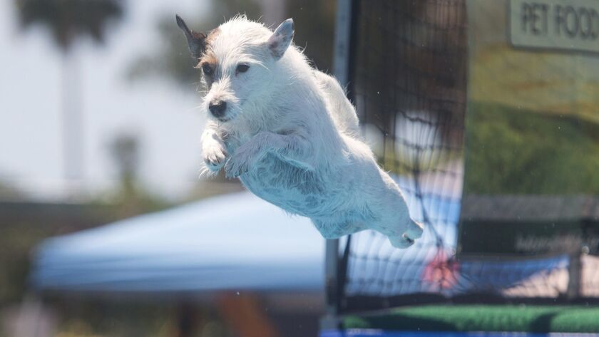 Tiny Tonic, a Jack Russell terrier, jumps 14 feet at the 2016 America's Family Pet Expo. The 29th annual expo will run April 27 through 29 at the OC Fair & Event Center.