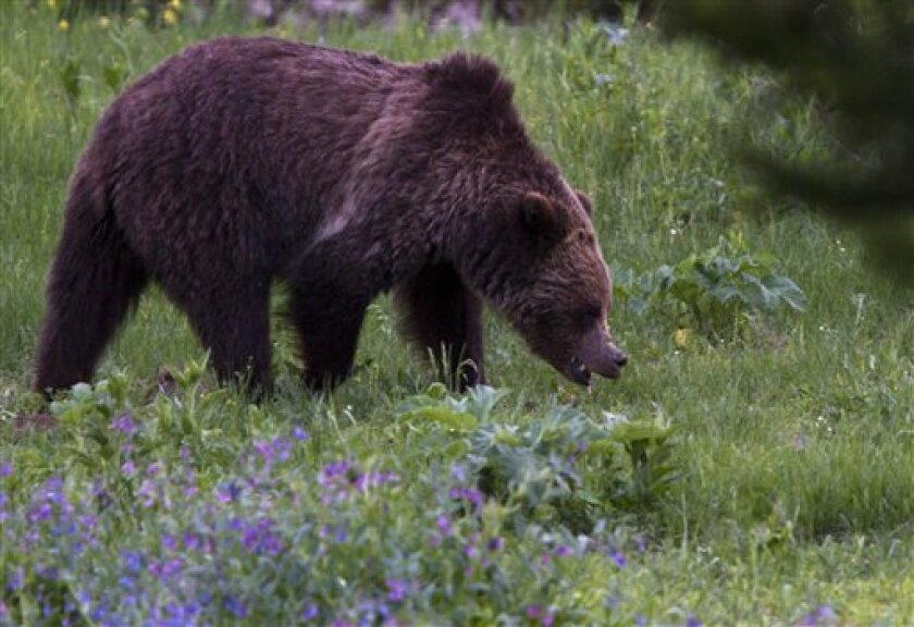 A grizzly bear roams near Beaver Lake in Yellowstone National Park, Wyoming, Wednesday July 6, 2011. A grizzly bear killed a man who was hiking with his wife in Yellowstone National Park's backcountry after the couple apparently surprised the female bear and its cubs on Wednesday, park officials said. It was the park's first fatal grizzly mauling since 1986, but the third in the Yellowstone region in just over a year. (AP Photo/Jim Urquhart)