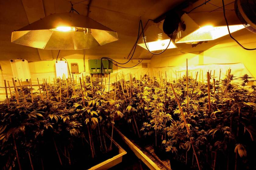 Marijuana grows at an indoor site in Arcata, Calif.
