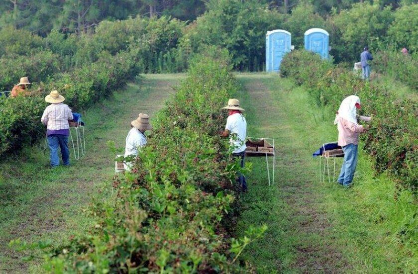 Unos trabajadores agrícolas temporales migrantes recogen moras en las granjas Paulk Farms & Vineyards en Wray, Georgia.