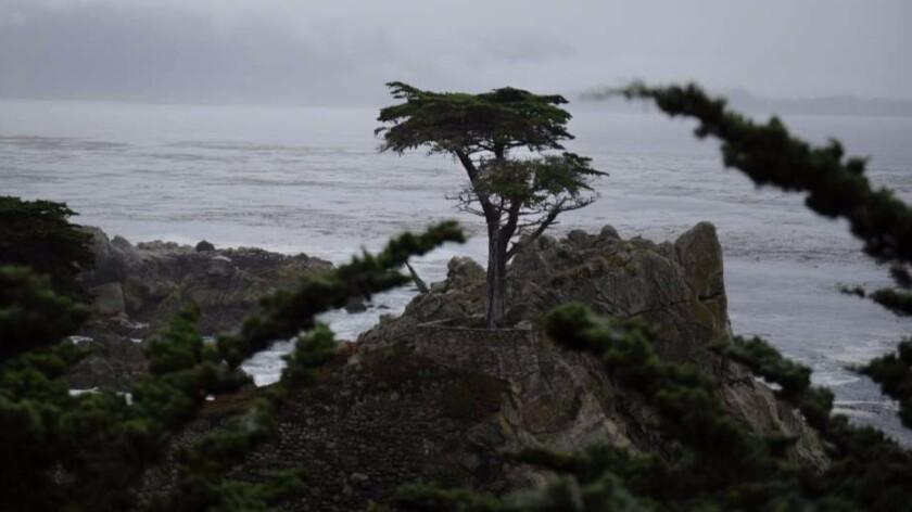 A cypress tree along the California coast in Monterey