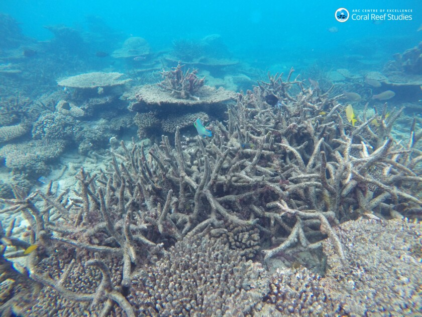 Dead staghorn coral killed by bleaching on the northern Great Barrier Reef in November 2016.