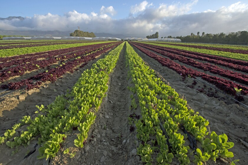 Red and green romaine lettuce (Red Tango and Green Ice) grown by Kenter Canyon Farms in Bardsdale, near Fillmore.