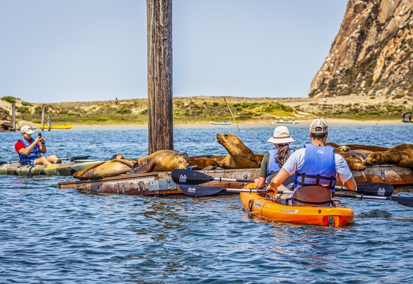 Kayakers visit California sea lions lolling on a raft in Morro Bay.