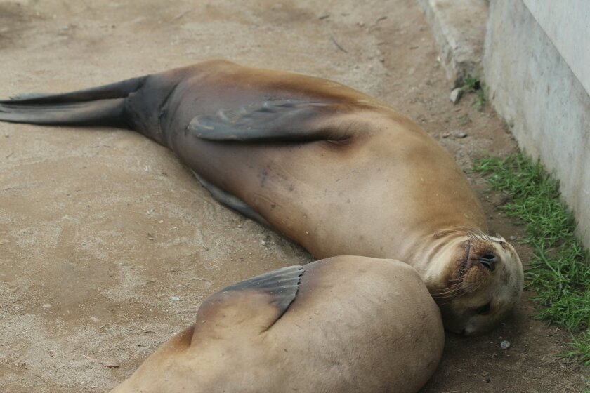 Numerous sea lions at La Jolla Cove were looking lethargic and underweight in January.