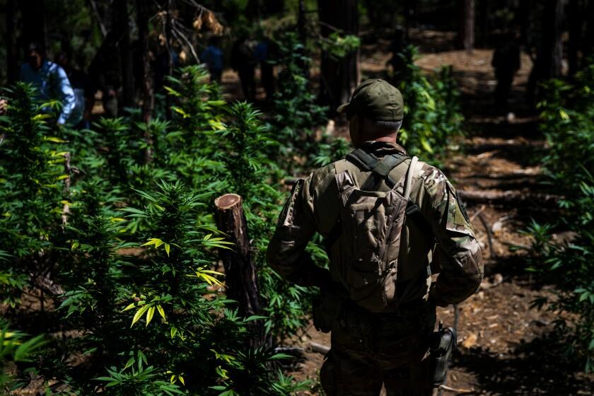 An illegal marijuana grow site in Sierra Nevada