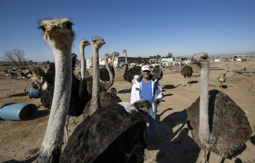 Llamas and ostriches were taken from an exotic meat farm. Was it theft or rescue?