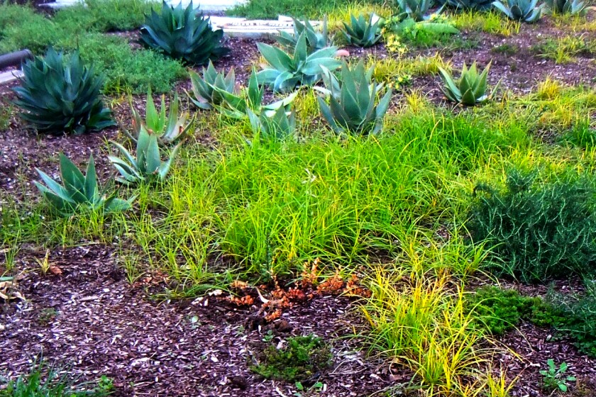 A bright green patch of nut grass infects a California-friendly, drought-tolerant garden that has been overwatered and planted in compacted soil, conditions that help the weed thrive.