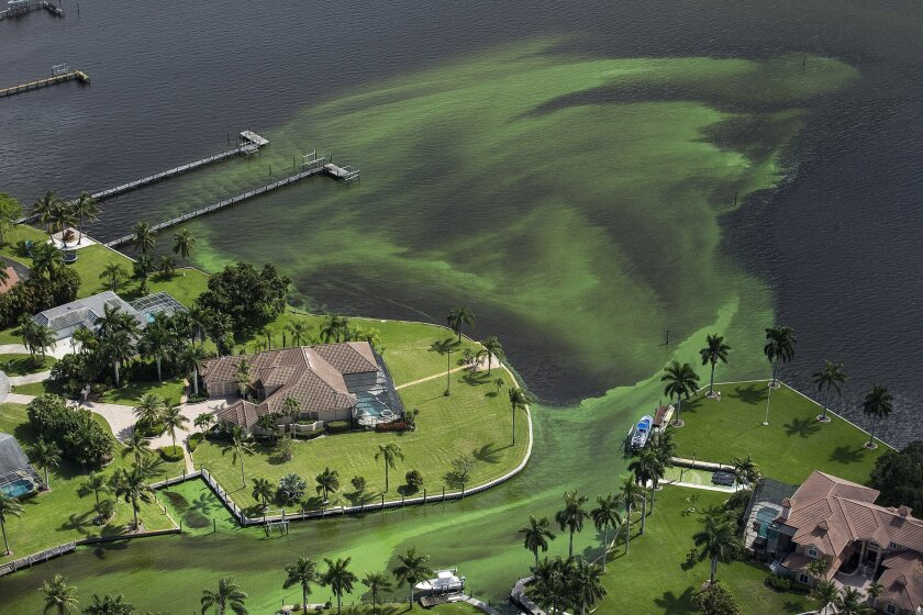 An aerial photo shows blue-green algae enveloping an area along the St. Lucie River in Stuart, Fla.,Wednesday, June 29, 2016 Officials want federal action along the stretch of Florida's Atlantic coast where the governor has declared a state of emergency over algae blooms. The Martin County Commissi