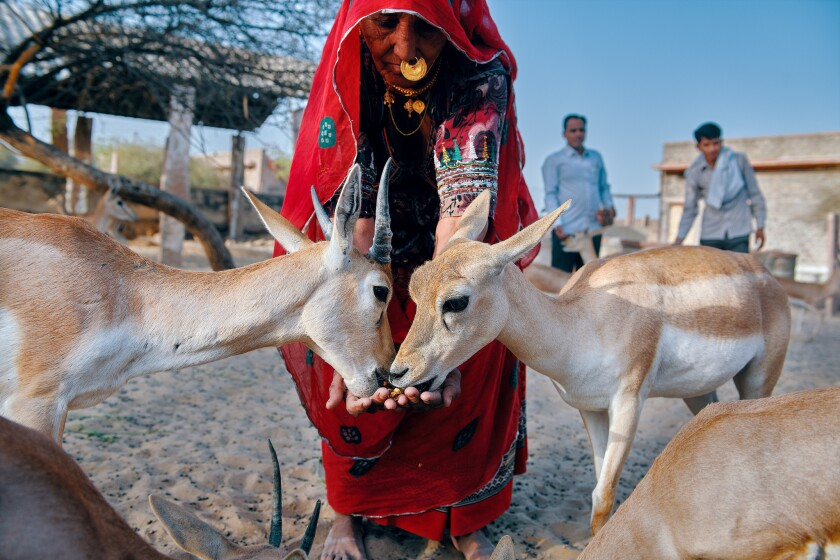 A woman feeding the deers at the temple in village Jajiwal near Jodhpur, Rajasthan.