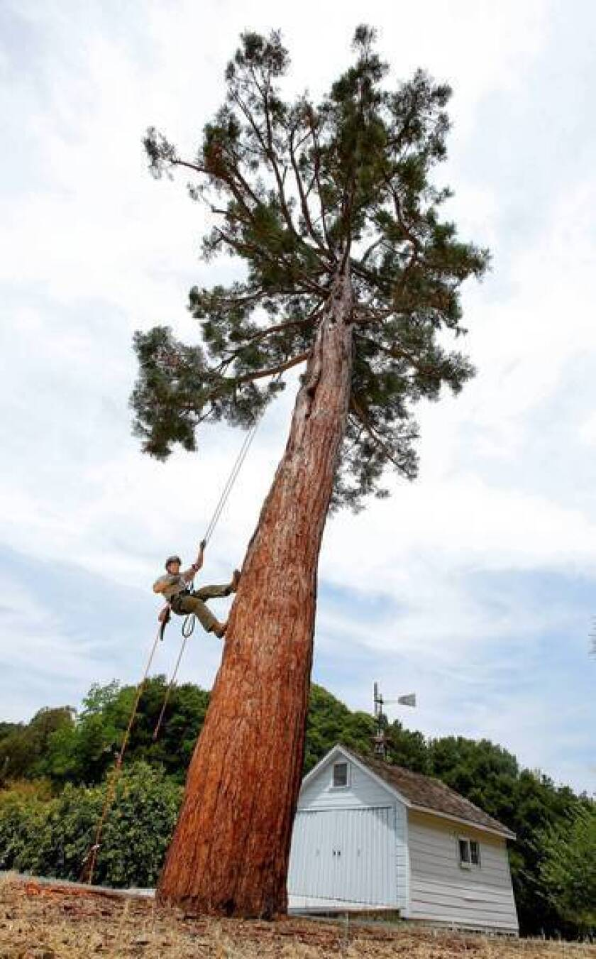 Horticulturist is rooting for diseased Muir sequoia