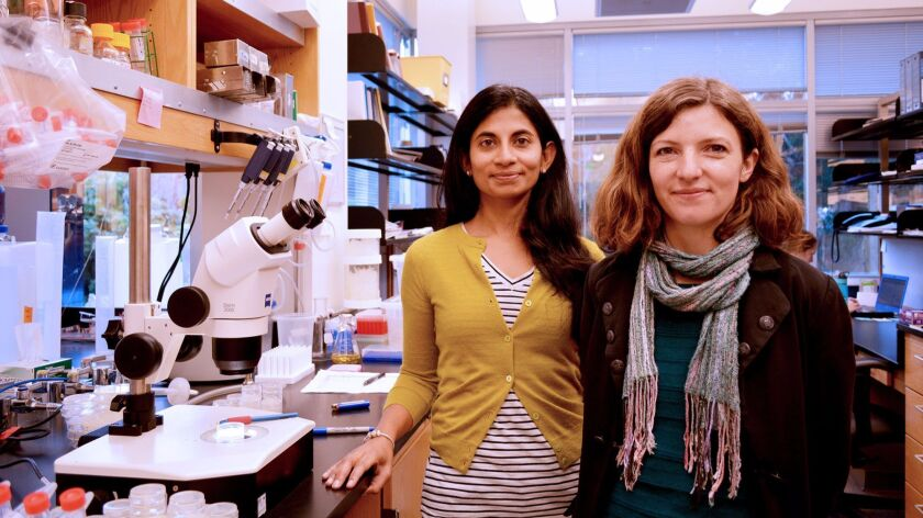 TSRI Assistant Professor Supriya Srinivasan (left) and TSRI Research Associate Lavinia Palamiuc led the discovery of a new brain hormone that burns fat.