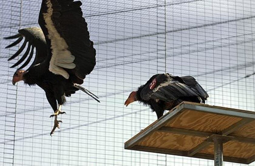 Female California condor Ojja, left, is bullied by male Simerrye in their newly rebuilt aviary at the San Diego Wild Animal Park. Five condors settle into their new home Monday, exactly a year after the Witch fire burned down the former facility. More photos >>>