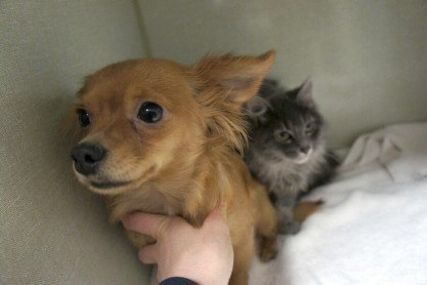 Mother dog Beignet and her baby kitten Gumbo demonstrate the meaning of true love.