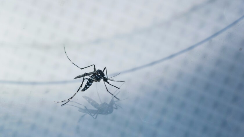 An adult Aedes albopictus, also known as the Asian tiger mosquito, is caught for a test sample in a Silver Lake backyard.