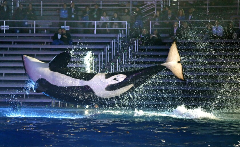 A trained orca killer whale leaps into the air at SeaWorld in San Diego.