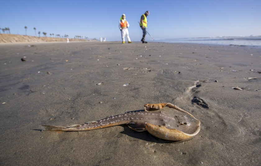 A dead juvenile guitar fish lies on sand darkened by spilled oil.