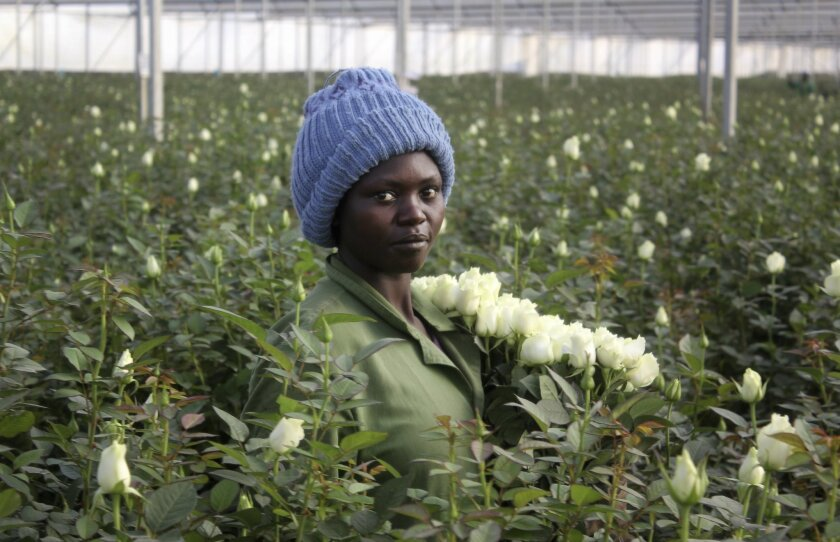 In this photo taken Monday, Feb. 1, 2016, Phanice Cherop, a 29-year-old single mother of two, works at the AAA Growers' farm in Nyahururu, four hours' drive north of the capital Nairobi, in Kenya. This Valentine's Day, there's a good chance your flowers came from Kenya as the cool climate and high