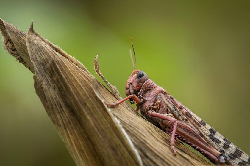 A desert locust on a maize plant in the Kenyan village of Katitika.