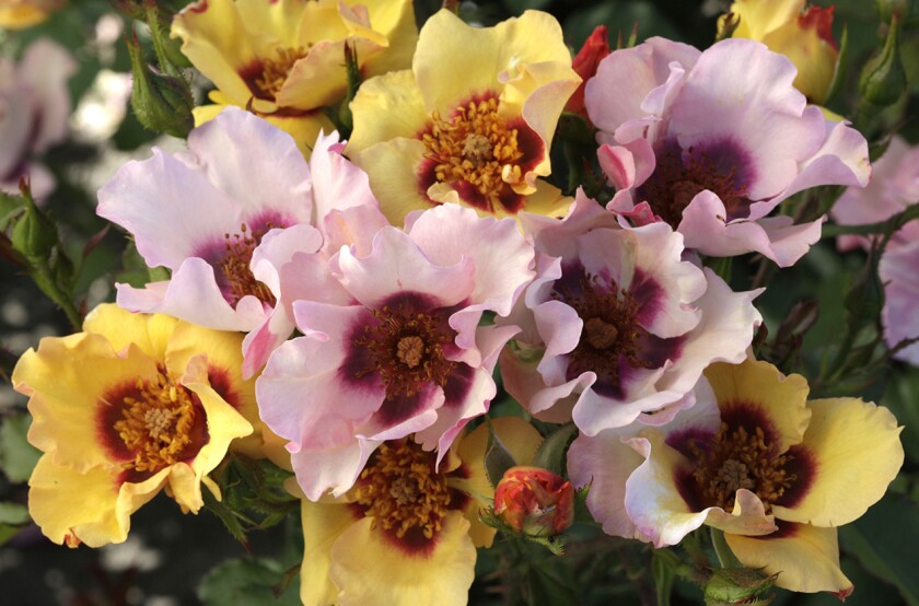 In Your Eyes is a yellow Carruth shrub rose with a burgundy eye and moderate fragrance.