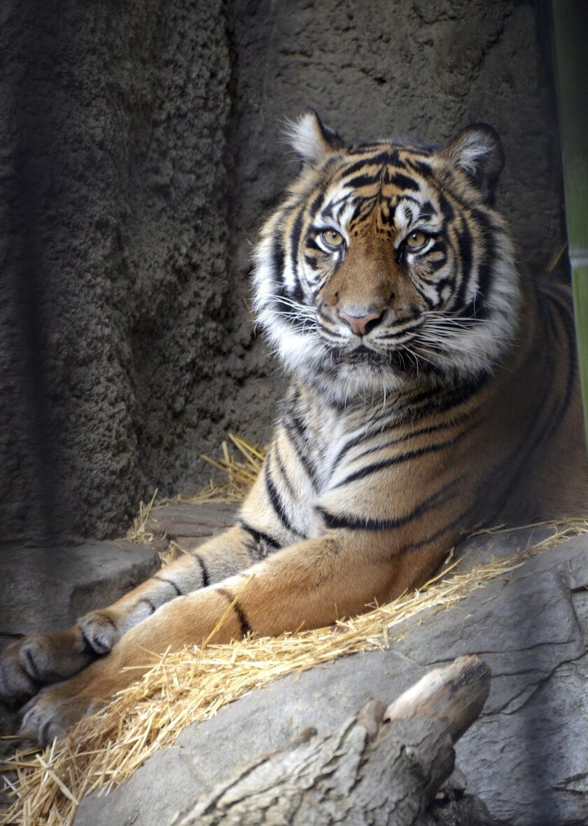 This Feb. 4, 2015 photo provided by the Sacramento Zoo shows Baha, a Sumatran female tiger, in Sacramento, Calif. Sacramento Zoo officials say a Baja was killed by her mating partner Wednesday, Feb. 10, 2016, after the two felines were put in the same enclosure for breeding. (Tonja Candelaria/Sacra