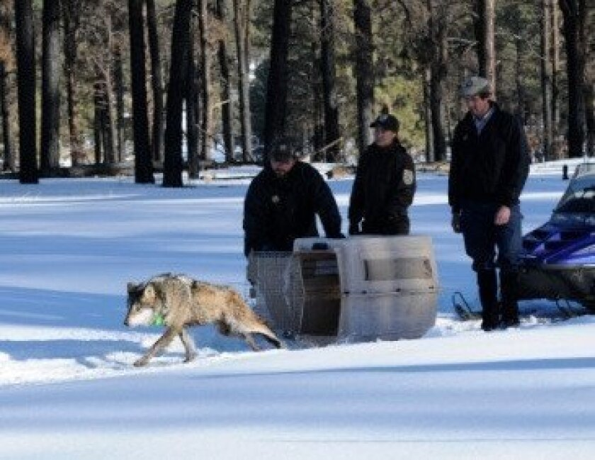 A Mexican gray wolf is set free in the Apache-Sitgreaves National Forest.