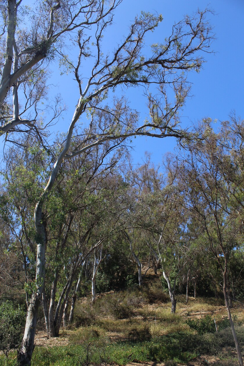 Dead and dying trees pose a fire risk for Rancho Santa Fe homes and communities.