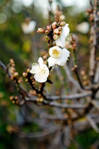 Prunus mume, often called the Japanese apricot or Chinese plum tree, begins to show its petite white blossoms around New Year's at Ocean View Farms in Mar Vista.