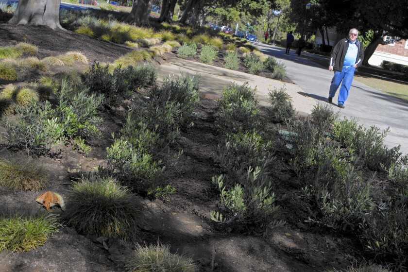 Drought-tolerant plants put in place at UCLA.
