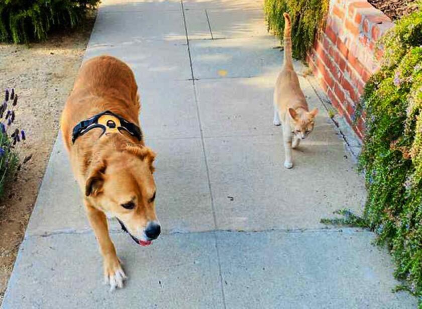 Jupiter enjoys his daily walks around the neighborhood with Teddy.