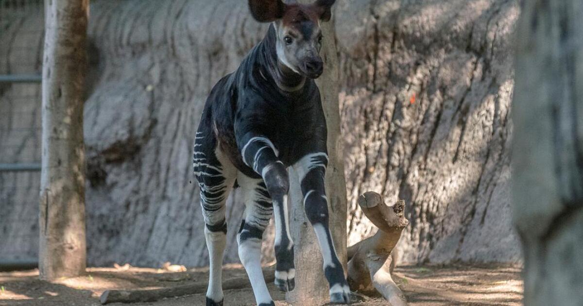 Baby Okapi debuts at San Diego Zoo
