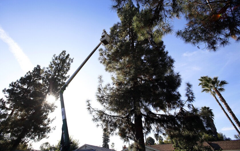 A city contractor uses a lift to trim a tree in the West Hills neighborhood of Los Angeles on Oct. 23, 2014.