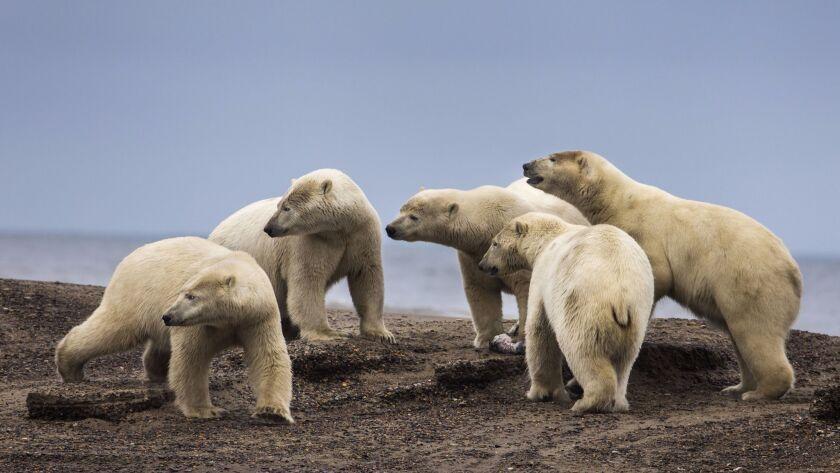 Polar bears gather on a barrier island in the Arctic National Wildlife Refuge just outside the Inupiat village of Kaktovik, Alaska on Sept. 11.