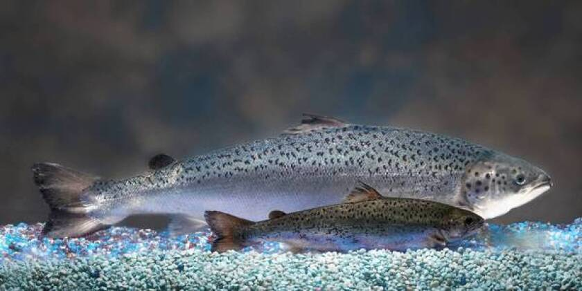 """A genetically modified Atlantic salmon grows more quickly than its natural counterparts. In the complex world of federal regulation, the Food and Drug Administration considers such fish to be """"new animal drugs."""""""