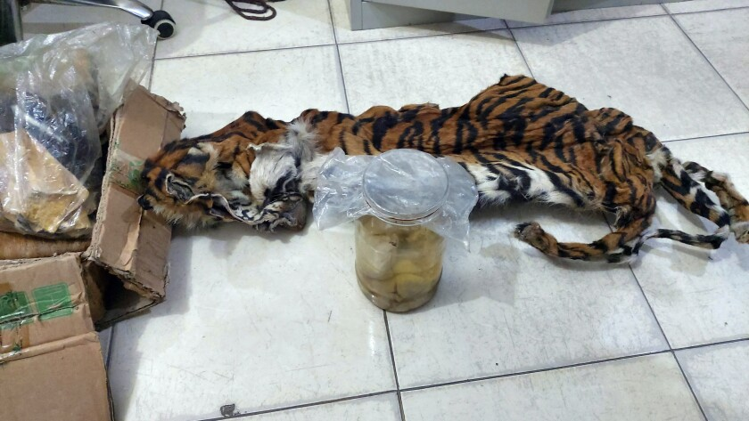 Indonesia Tiger Poachers
